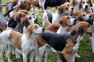 Die Foxhounds der Niedersachsenmeute führen auch in diesem Jahr das Feld der Neuhäuser Jagd an. Foto: djd/Solling-Vogler-Region
