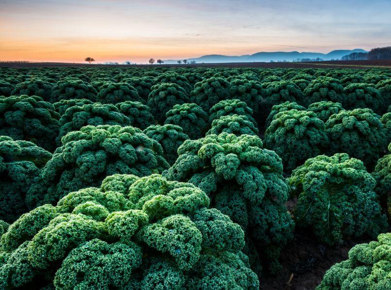 Studie: Grünkohl beugt gegen Krebs vor